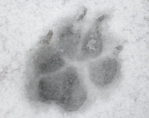 Footstep revealing paws also known as track footprint print imprint pug footstep and toe impression dog footstep in snow revealing paws publicscrutiny Choice Image
