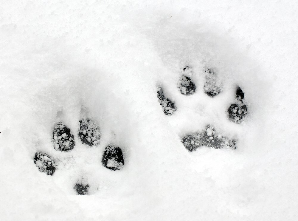 Toe impression revealing paws dog toe impressions in snow publicscrutiny Choice Image