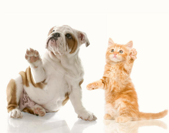 English Bulldog and Kitten Reveal Their Paws